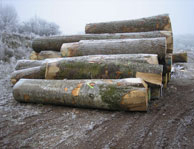 Beech logs first choice