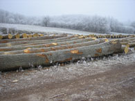 Oak logs with large diameters